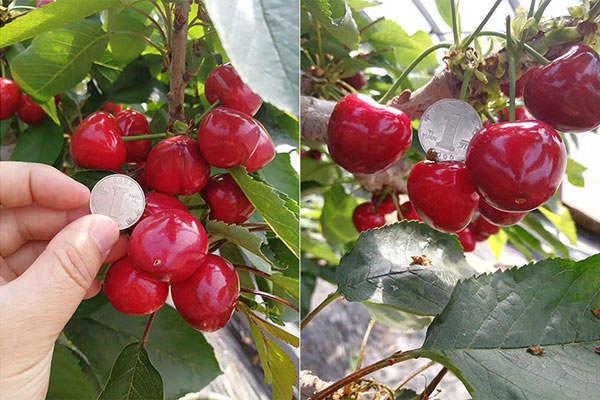 东大转光膜在樱桃种植上的表现
