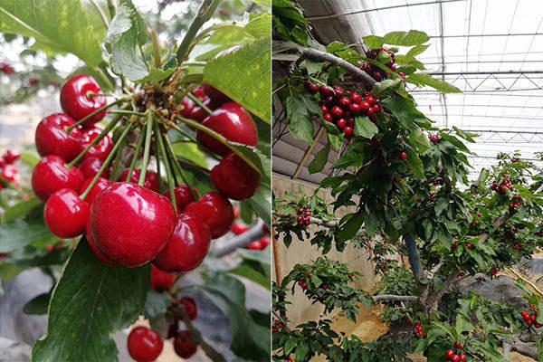 东大转光膜种植的樱桃个头大
