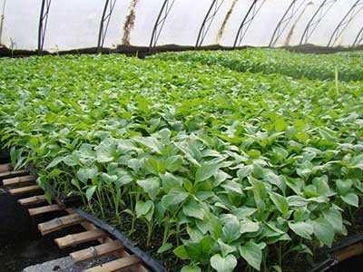 大棚种植要看苗浇水