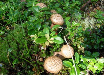 绿白膜适合香菇种植