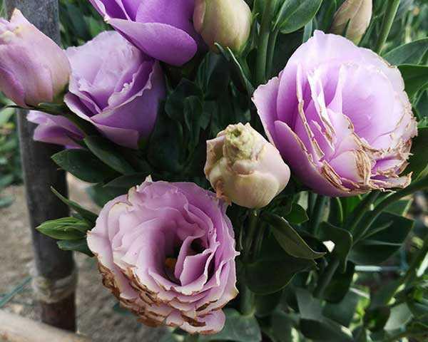 被紫外线灼伤的花瓣